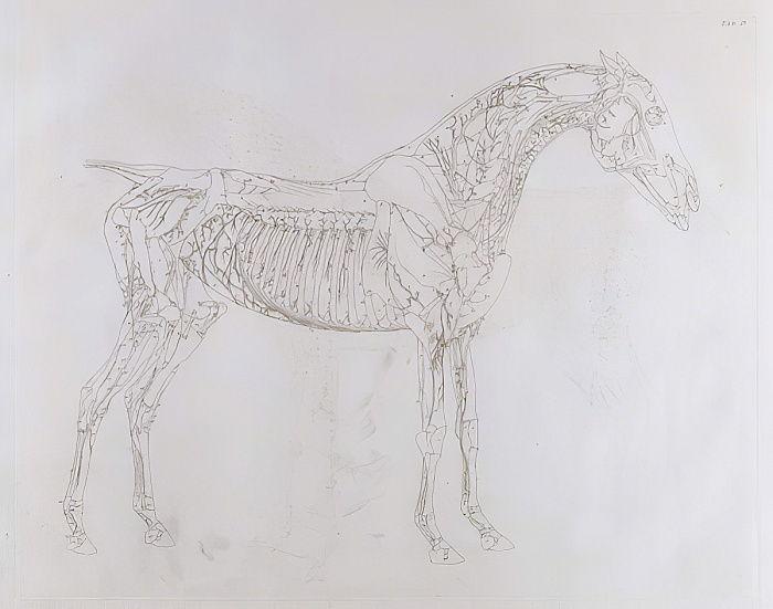 Illustration von Die Anatomie des Pferdes, einschließlich einer ...