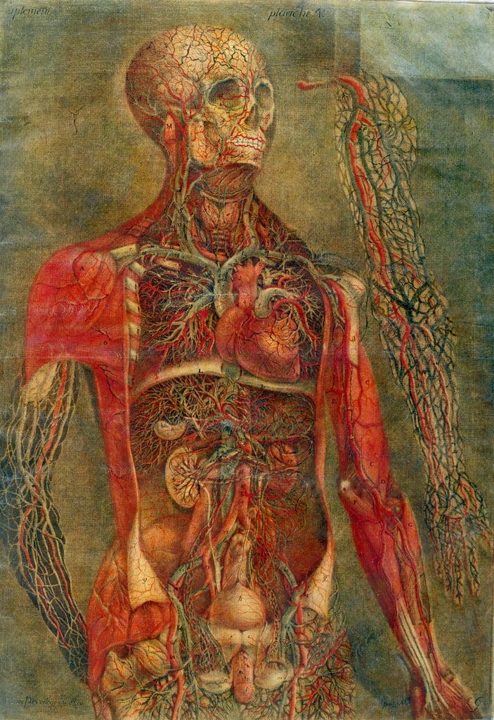 Innere Organe des Körpers, Platte von Anatomie der Eingeweide ...